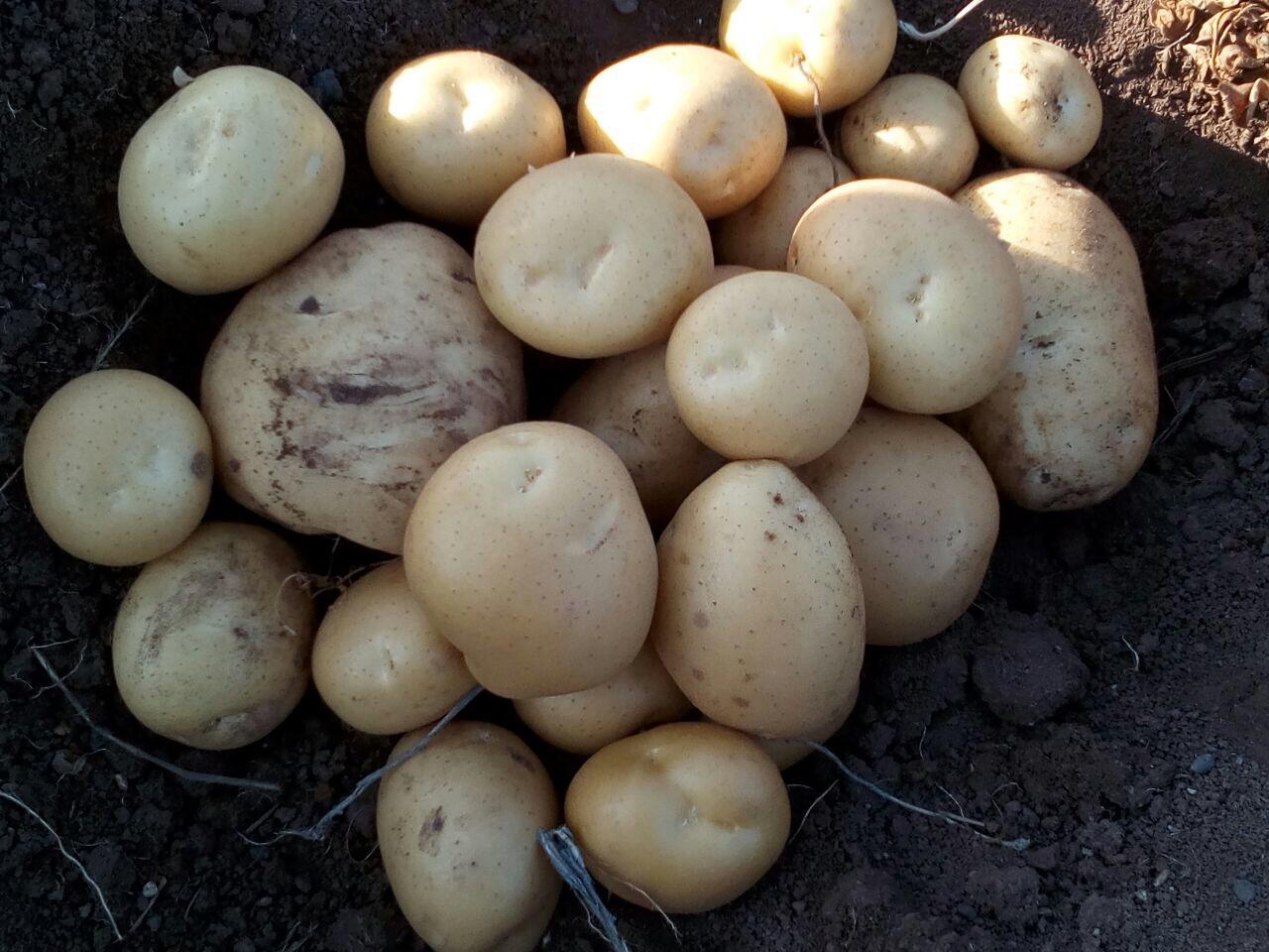 قیمت فروش سیب زمینی فرنگی