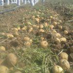 قیمت سیب زمینی