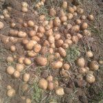 پخش عمده سیب زمینی