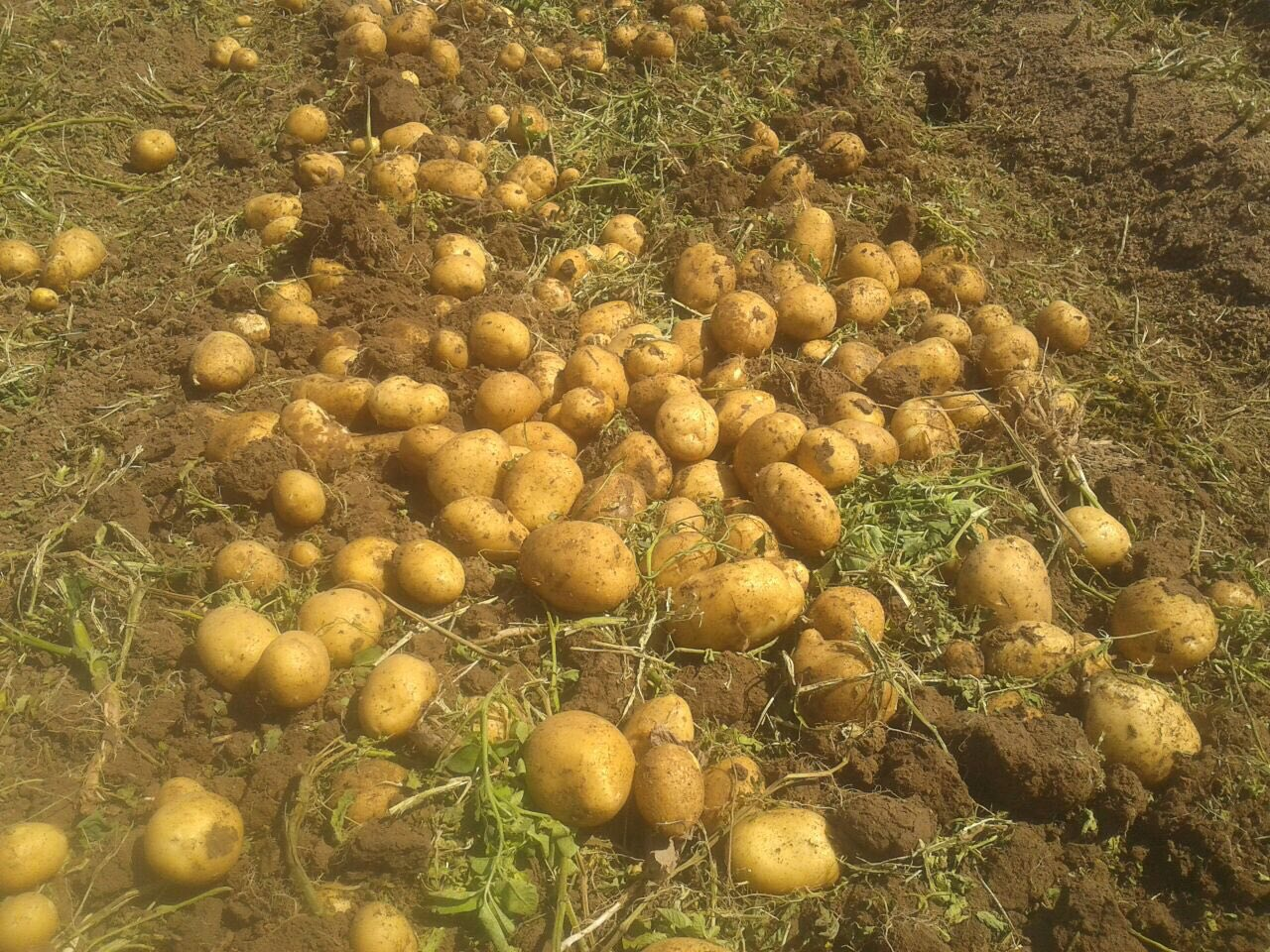 قیمت خرید سیب زمینی