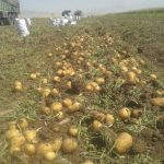 سیب زمینی شیراز