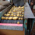 نمایندگی فروش سیب زمینی