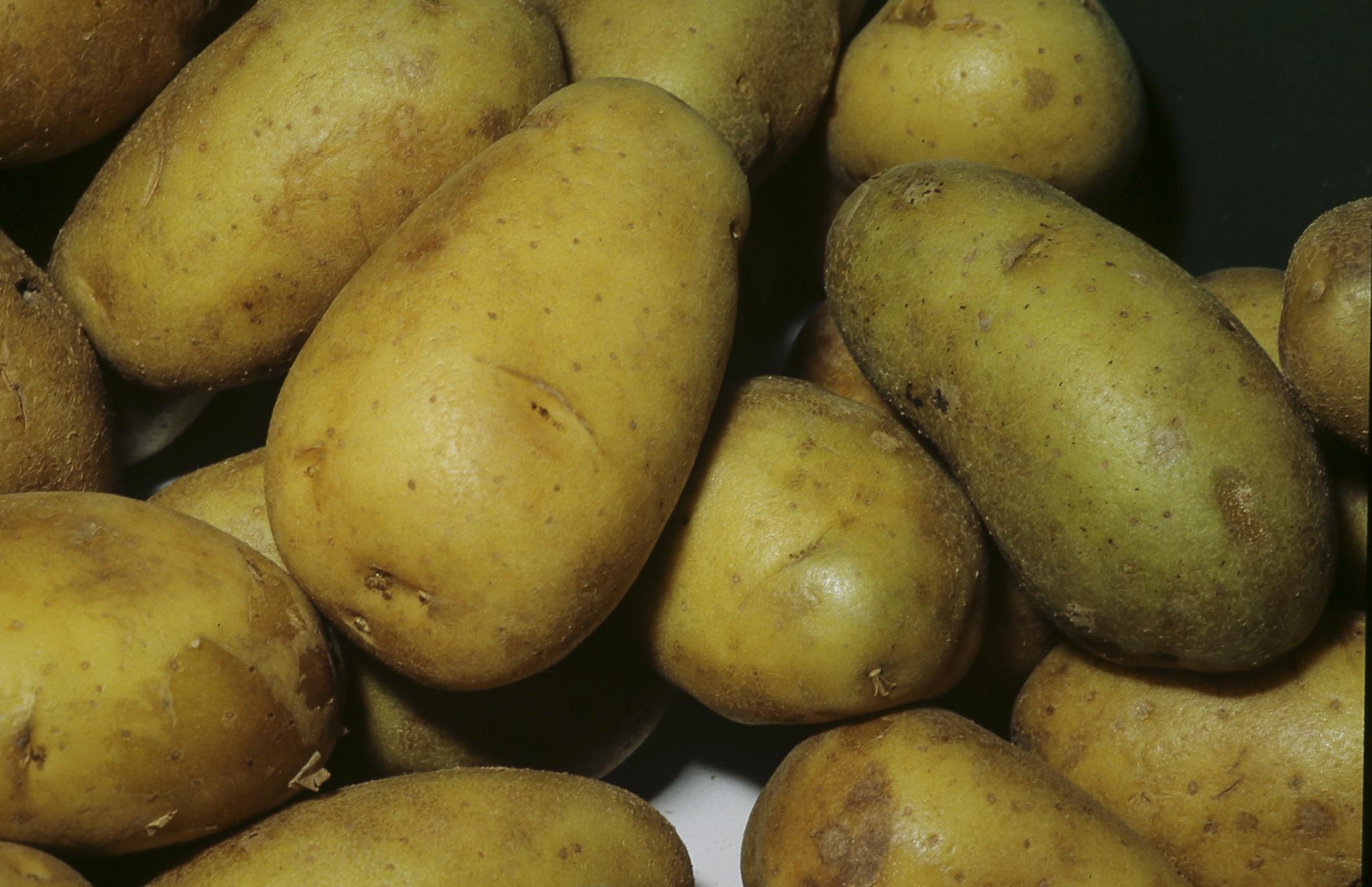 سیب زمینی اسپریت همدان